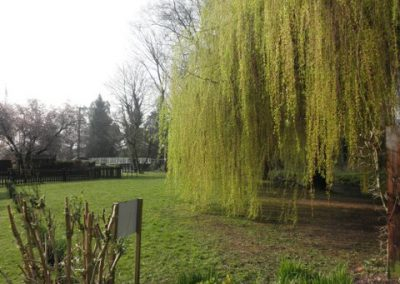 Beautiful willows